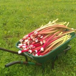 rhubarb barrow