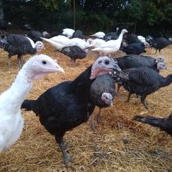 Our Free Range Turkeys