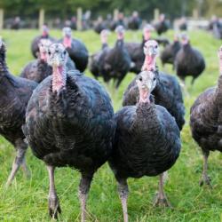 Free Range Turkeys
