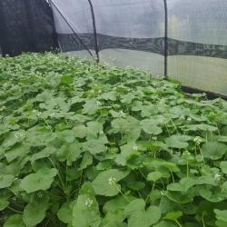 Growing Wasabi in Northern Ireland