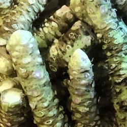 Basket of Wasabi Rhizomes