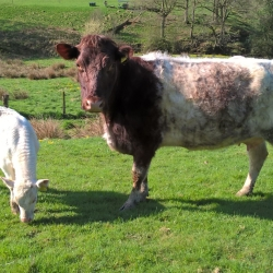Northern dairy cow and calf
