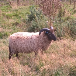 Boreray ram lamb for sale