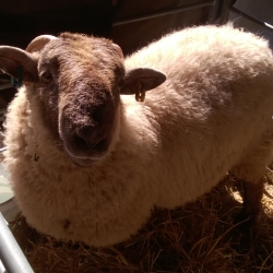 Lovely Hill Radnor ram lamb has just arrived