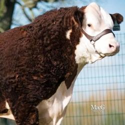 Moorside Hereford Beef & EasyCare Lamb Boxes