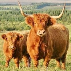 Barker's Highland Beef