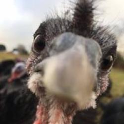 Holme Farm Turkeys