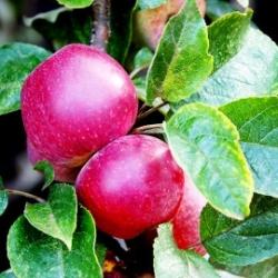 English Apple Juice