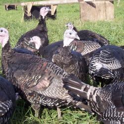 Jenkinson Turkeys and Geese