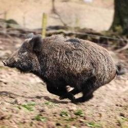 Hilton Wild Boar