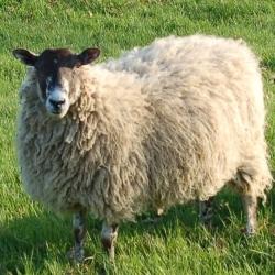 Breamfield Flock