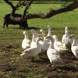 Home Farm Turkeys