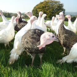 Brynblodau Turkeys