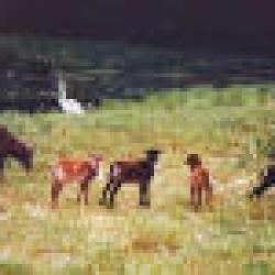 Abbots Garden Lamb