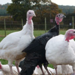 Heath Farm Turkeys