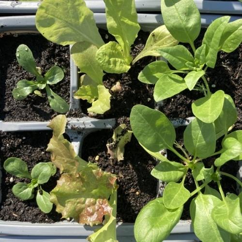 Salad Growing Pack