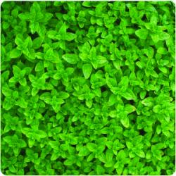 Air Dried Oregano