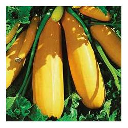 Goldena Courgette Seeds