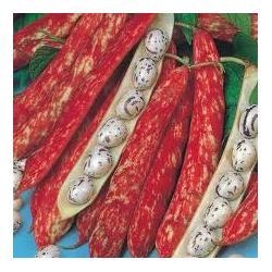 Dwarf Borlotto French Bean Seeds