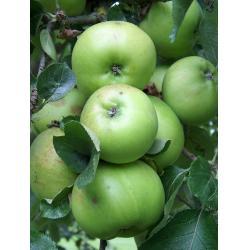 Culinary apple Bramley M26 rootstock