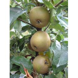 Apple Egremont Russet  MM106 rootstock
