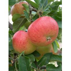 Apple Fiesta  MM106 rootstock