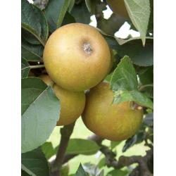 Apple Ashmead's Kernel MM106 rootstock