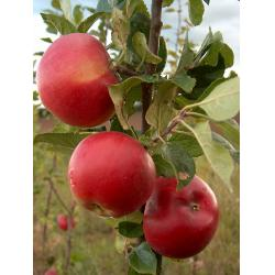 Apple Red Devil  MM106 rootstock