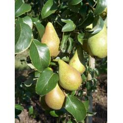 Pear Concorde Maiden Quince A rootstock