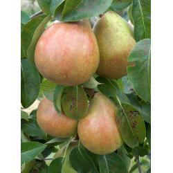 Pear Doyenne du Comice Quince A