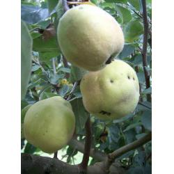 Quince Lescovaka Quince A rootstock