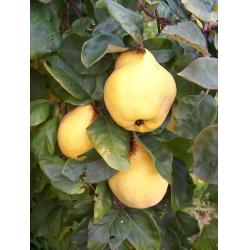 Quince Vranja Quince A rootstock
