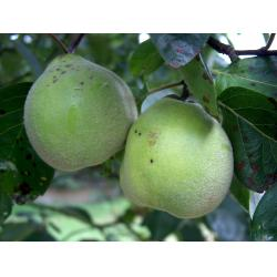 Quince Meeches Prolific Quince A