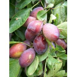 Plum Purple Pershore St Julien A