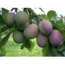 Plum Marjories Seedling St Julien A