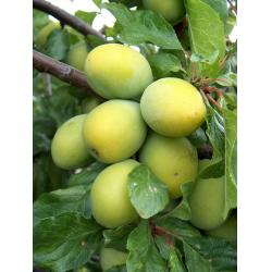 Plum Yellow Egg St Julien A rootstock