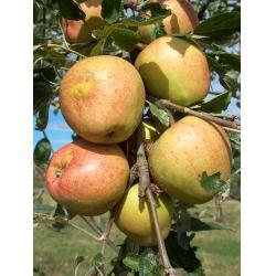 Apple Adam's Pearmain M26 rootstock