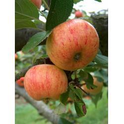 Apple Sunset MM106 rootstock