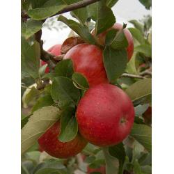 Apple Lord Lambourne MM106 rootstock