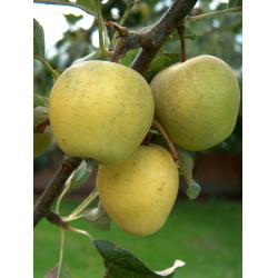 Apple Pitmaston Pineapple MM106