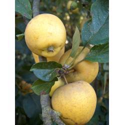 Apple Pitmaston Pineapple M26