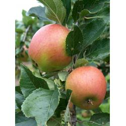 Apple Winston M26 rootstock