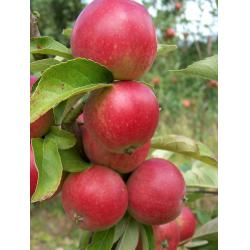 Apple Worcester Pearmain MM106 rootstock