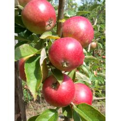 Apple Worcester Pearmain M26 rootstock