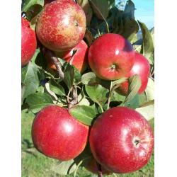 Apple Rajka MM106 rootstock