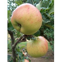 Culinary apple Annie Elizabeth MM106