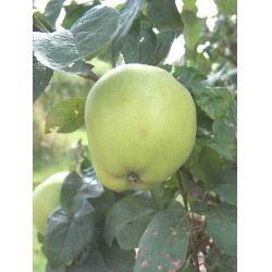 Culinary apple Grenadier MM106 rootstock