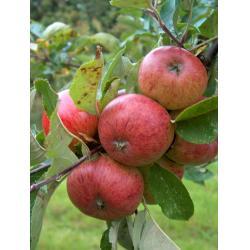 Cider apple Dabinett MM106 rootstock