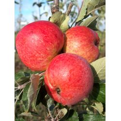 Cider apple Harry Masters Jersey MM106