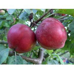 Cider apple Tom Putt MM106 rootstock
